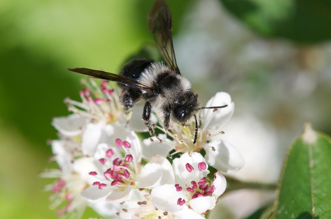 Wildbiene beim Bestäuben